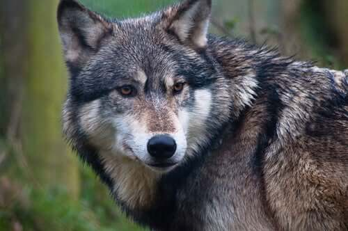 Genetic Divergence Between Dogs and Wolves