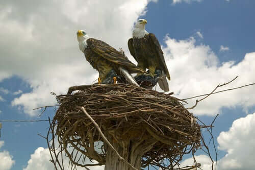 A pair of eagles on their nest.