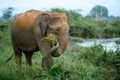 A elephant eating grass.