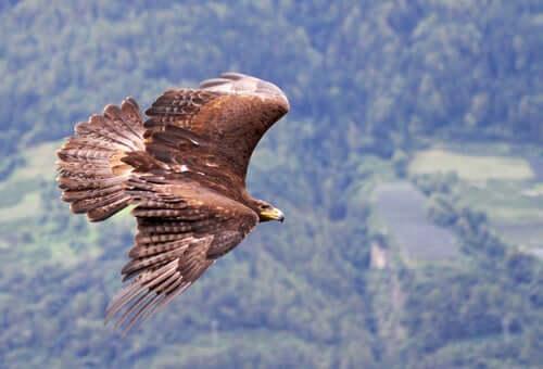 A flying eagle captured on camera.