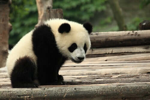 The Giant Panda: A Symbol of Culture and Tradition