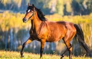 A bay horse.