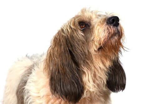 Grand Basset Griffon Vendéen dog.