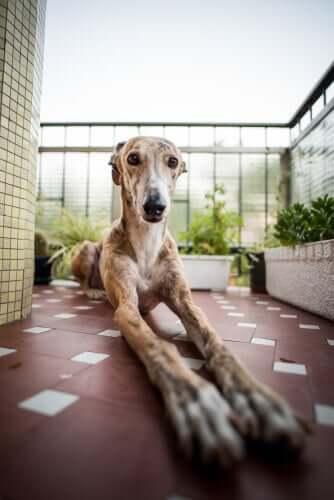 A greyhound dog laying down.