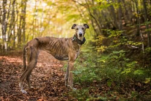 Meet the Greyhound: A True Racing Dog