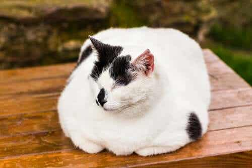 How to Treat Obesity in Cats
