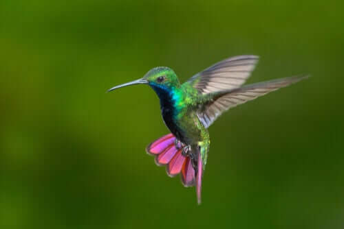 The Hummingbirds of Columbia and Venezuela in Full Color
