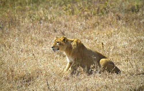 How Do Large Felines Hunt in the Wild?