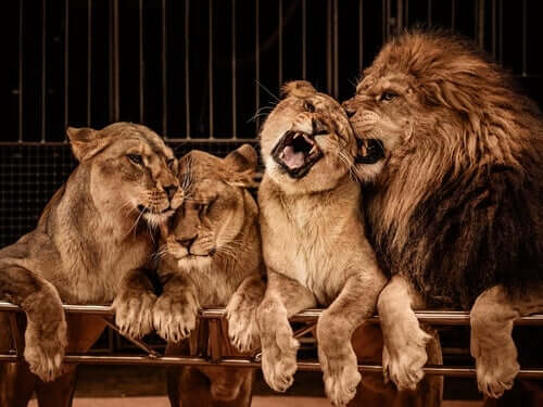 A lion and his harem.