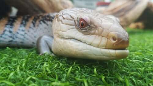 A close-up of a blue-tongued lizard .