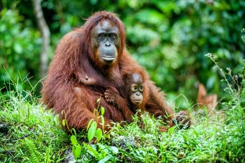 An orangutan and her baby.