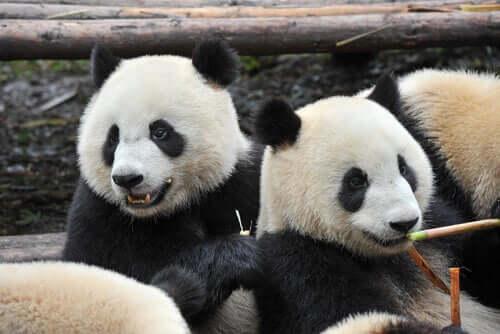 Two sitting panda bears.