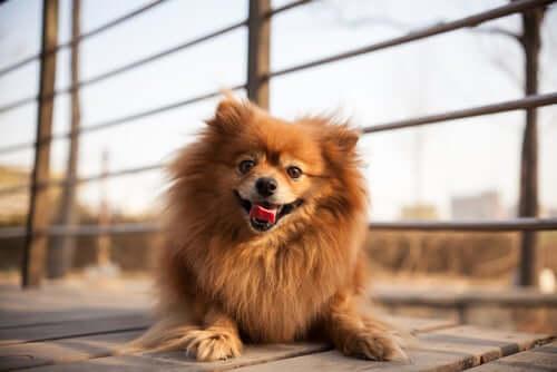 A panting dog resting.
