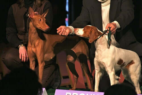 Hounds at a dog show.