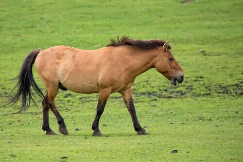 A Przewalski wild horse looking for food.