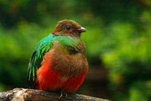 Female quetzal.