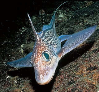 Unusual Fish: The Deep Sea Chimera
