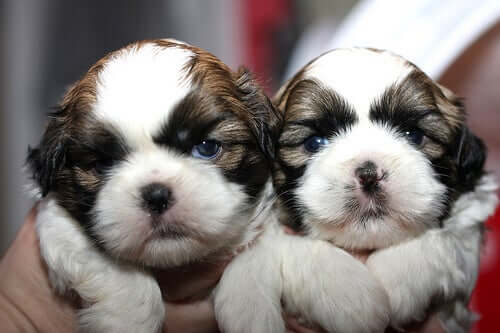 Newborn Shihtzu puppies.