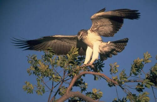 An eagle landing on a tree branch.