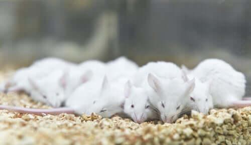 A group of sleeping lab mice.