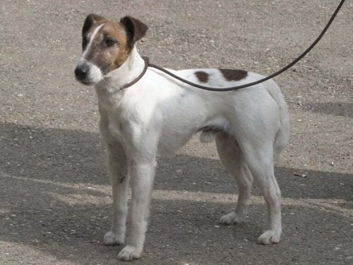All About the Smooth Fox Terrier Breed