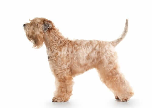The appearance of the Irish soft coated wheaten terrier.