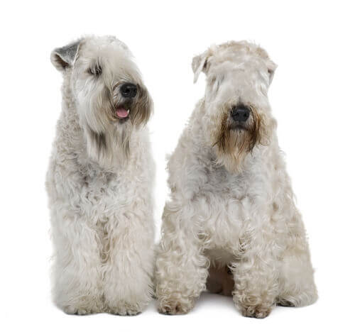 The Irish Soft Coated Wheaten Terrier