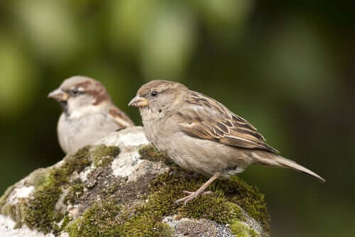Two sparrows perched on a rock.