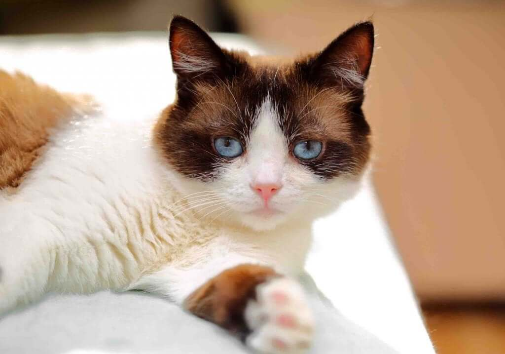 Discover the Sweet and Adorable Snowshoe Cat