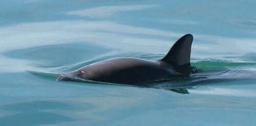 Plans for the Recovery of the Vaquita Fail