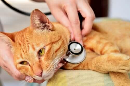 A vet examining a cat.