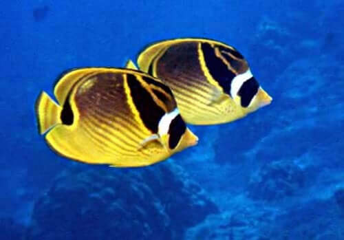 Popular warm water fish.