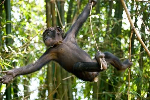 A young Bonobo swinging on a vine.