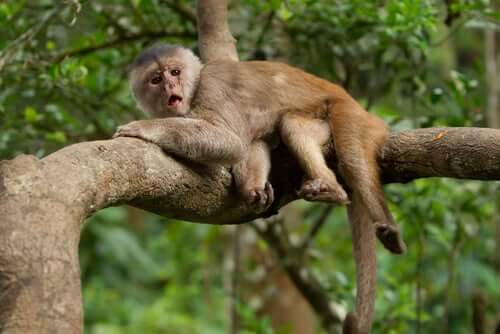 A capuchin monkey lying on a branch.