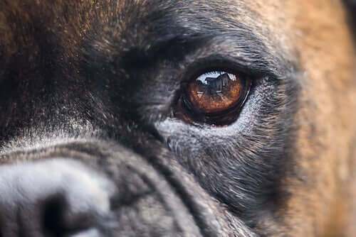 Pupil Dilation in Dogs