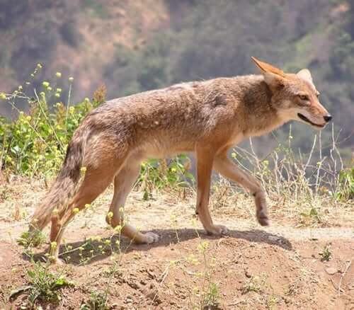 A dingo which is one of the animals that live in the desert.