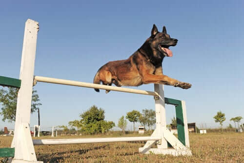 Professional Training for the Belgian Shepherd