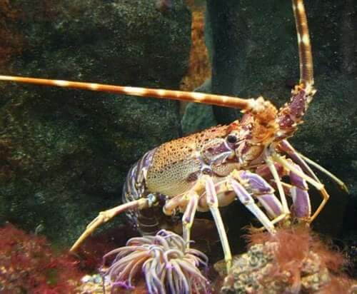 A lobster on the sea bed.