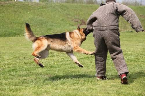 A man training a guard dog.