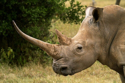 A rhino with a long horn.