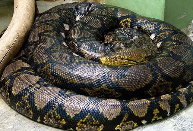 A snake undergoing snakeskin shedding.