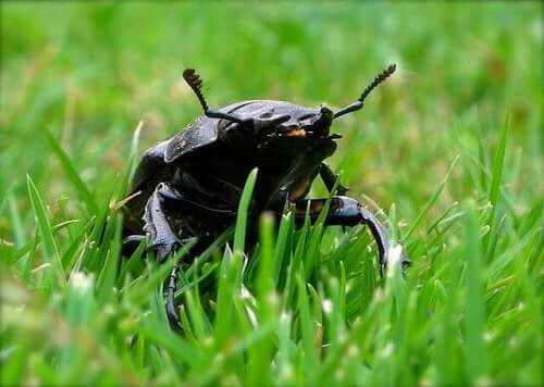 The Stag Beetle: The Biggest Beetle in Europe