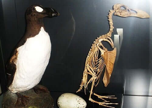 How the Great Auk Became Extinct