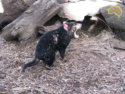 A tazmanian devil screaming.