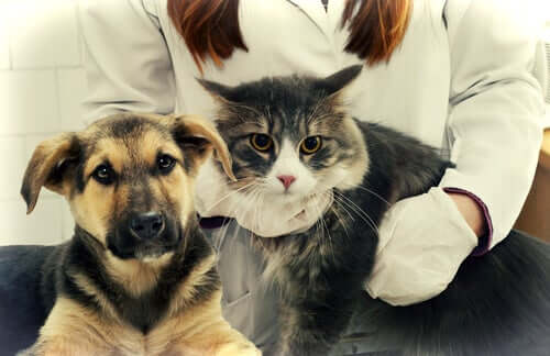 A vet checking for ascariasis in cats and dogs.