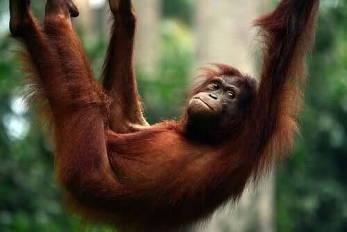 An orangutan swinging on a tree.