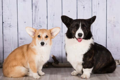 Discover the Cardigan Welsh Corgi