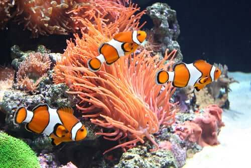 Clown fish in an aquarium.