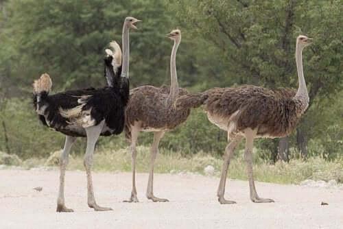 Ostriches in the desert.