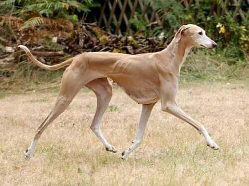 The Azawakh Dog Breed